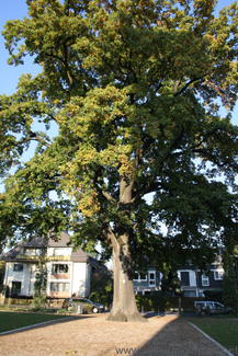 Friedenseiche (peace oak) in the Adenauerallee in Oberursel
