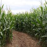 Maislabyrinth - a maze made out of maize