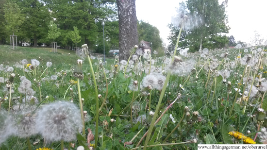 Dandelion Clocks in the field in front of the Mountain Lodge in Camp King