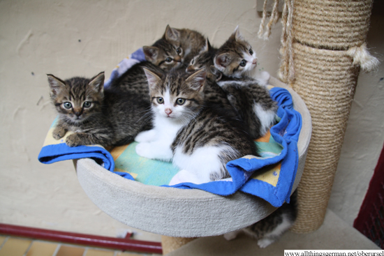 Kittens at the animals home in Oberursel