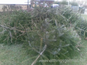 Christmas Trees on the ground awaiting collection in Oberursel, Germany