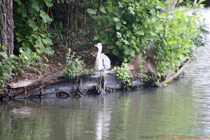 Grey heron in Rushmoor Park